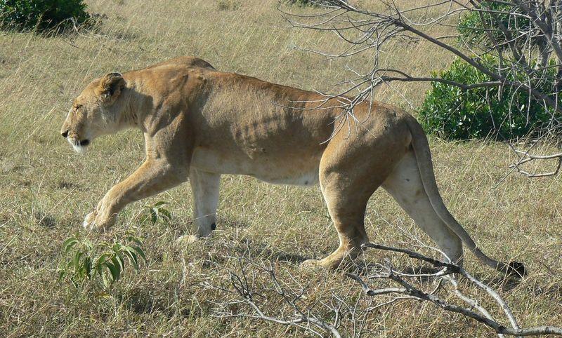 Lions 4