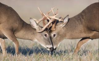 DeerFight