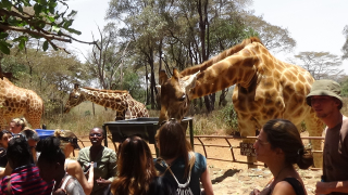 GiraffesFeeding